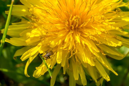 Yellow dandelion flower with small fly Stock Photo