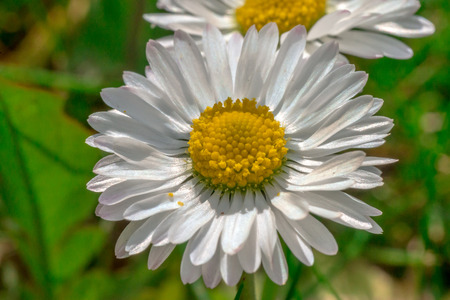 Daisy flower closeup in grass Stock Photo - 83068880