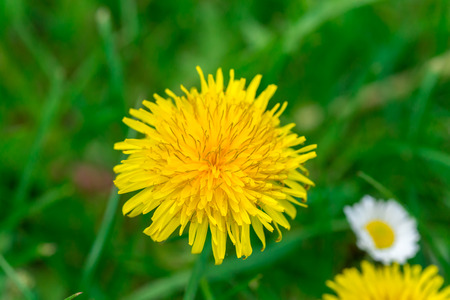 Dandelion and daisy in green grass field Stock Photo