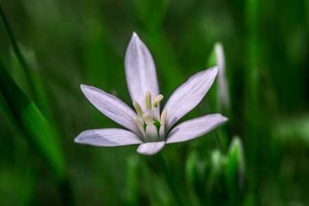 Star of Bethlehem flower in grass
