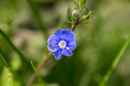 Small blue flower (cranesbill) closeup Stock Photo - 83068916