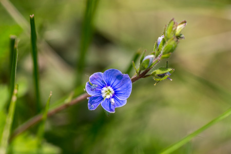 Small blue flower (cranesbill) closeup