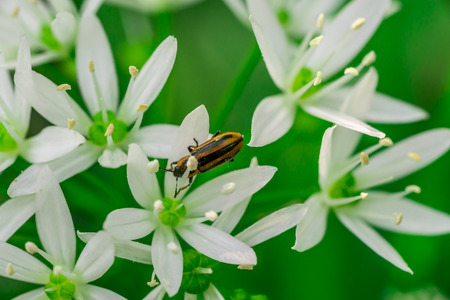 Wild garlic, bear garlic (Allium ursinum) flower with insect Stock Photo - 83068920