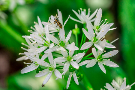 Wild garlic, bear garlic (Allium ursinum) flower with insect