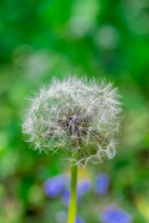 Dandelion flower head full of seeds Stock Photo - 83068928