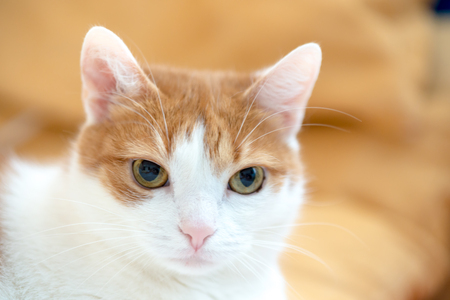 Ginger cat rest and looking straight to camera lens for portrait