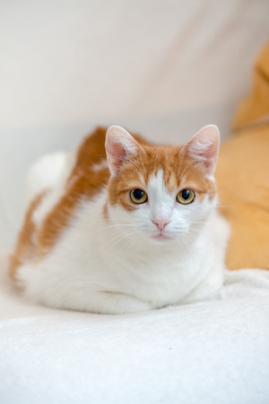 Ginger kitty lie on bed with folded paws and looking straight to camera on portrait