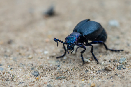 Violet oil beetle (Meloe violaceus) on dirt road at springtime Stock Photo