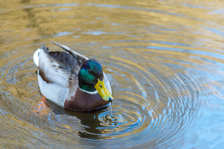 Nice young Mallard duck swiming and drink water in early spring