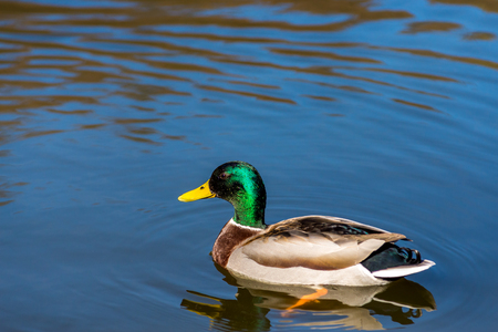 Nice young Mallard duck swiming on lake in early spring Stock Photo