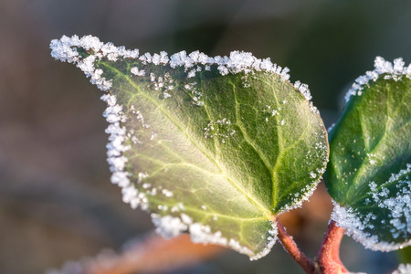 Green leaf covered by ice crystals in January