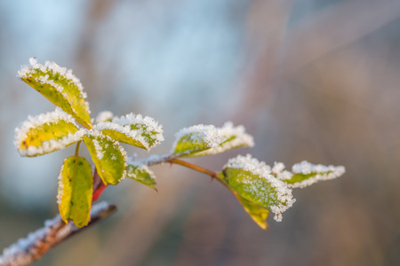 Green leaves covered by ice crystals in January