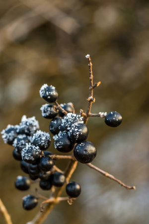 Wild black berries in January covered by ice crystals