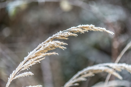 One dry stem of grass in late winter covered by frozen snow