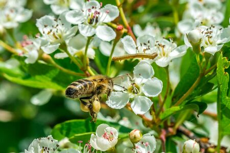Honey bee flying to the flower with caterpillar in sunny, warm, summer day