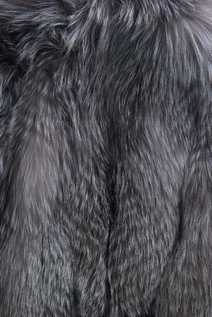 silver fox: Background with gray silver fox fur