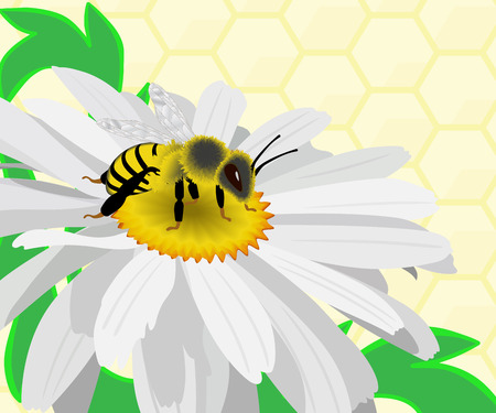 camomiles macro: Bee gather honey on a camomile. Background with honeycombs.