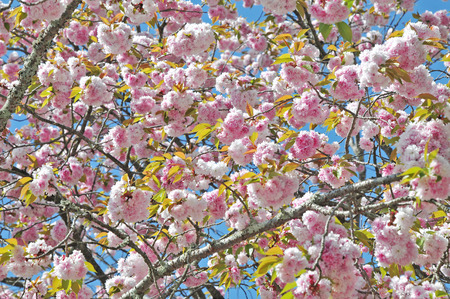 in bloom: Full bloom double cherry