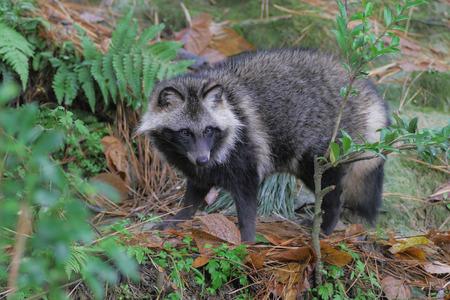 raccoon: Japanese raccoon