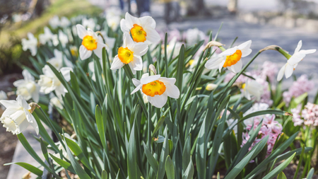 flower bed: White narcissus in the flower bed