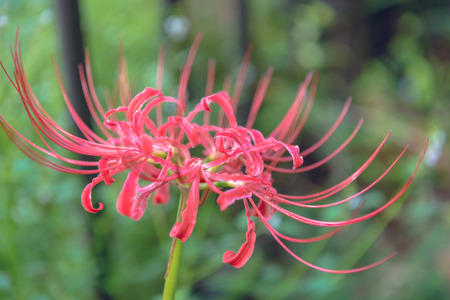 cluster: Cluster amaryllis in the garden