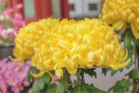 japanese chrysanthemum: Yellow Japanese chrysanthemum