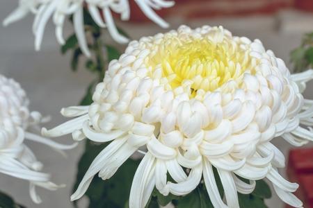 japanese chrysanthemum: White Japanese chrysanthemum