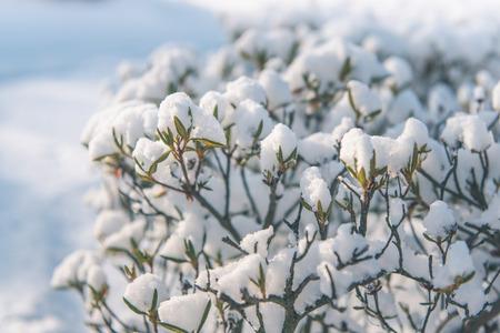 poetic: The snow covered azalea
