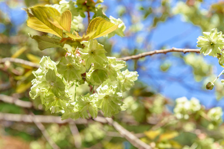 blossoming yellow flower tree: Green cherry blossoms in full bloom Stock Photo