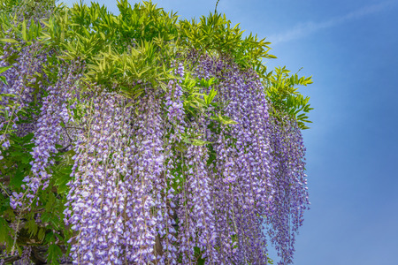 Spring scenery of the wisteria trellises in full blossom Stock Photo