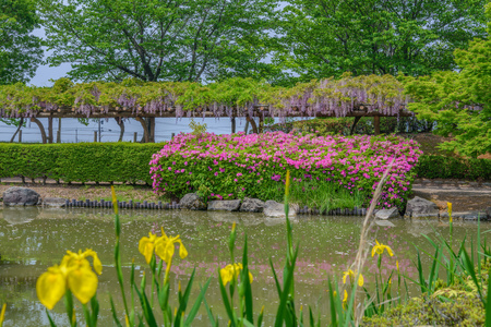 Spring scenery of the wisteria trellises, azalea and Iris in full blossom