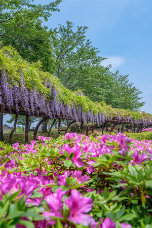 Spring scenery of the wisteria trellises and azalea in full blossom