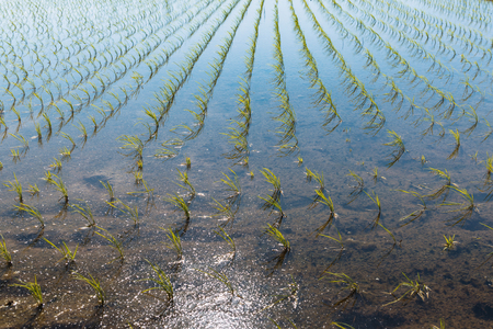 Scenery of the rice field in japan