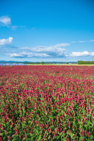 trifolium: Crimson clover growing Stock Photo