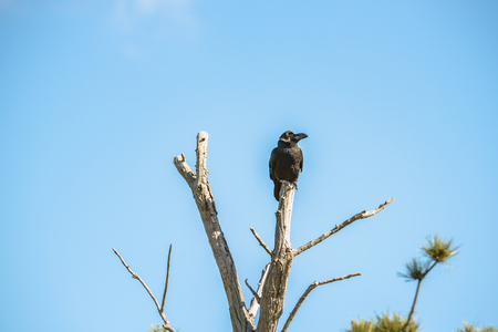 The crow which perches on dead tree