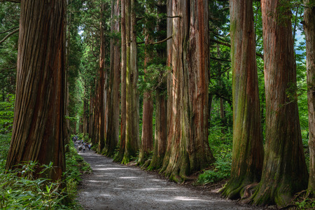 Row of cedar trees to the shrine 스톡 콘텐츠