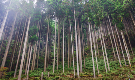 Scenery of cryptomeria forest in Kyoto