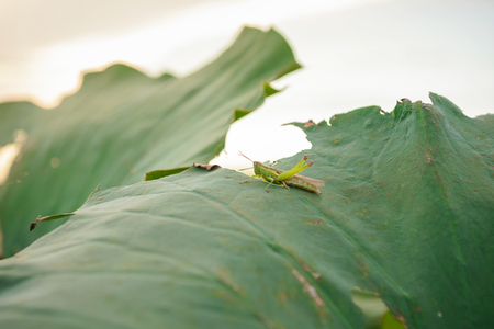Grasshopper on the lotus leaf Stock Photo