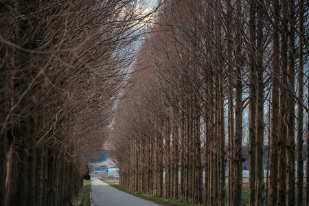 Avenue of metasequoia in winter dusk