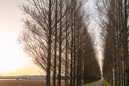 Avenue of metasequoia in dusk Stock fotó - 103022135