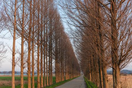 Avenue of metasequoia in dusk Stock fotó