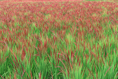 The ancient rice which grows on the rice field in Okayama, Japan