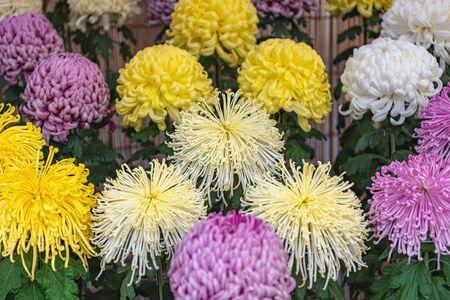Japanese Chrysanthemum in full bloom