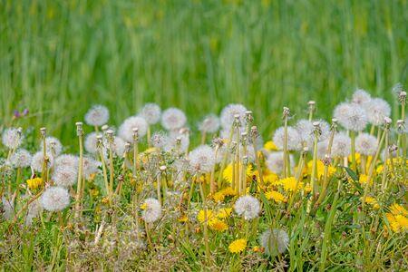 Scenery of Dandelion at roadside