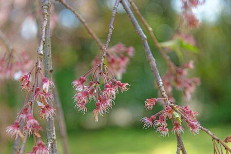 Cherry tree stamen after petal was gone