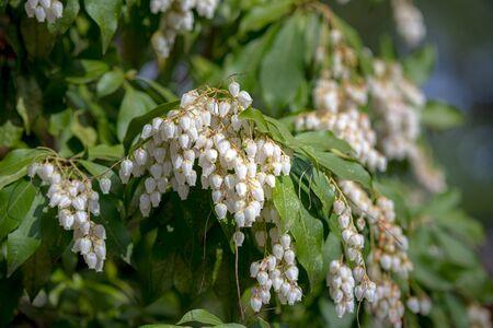 Pieris japonica in the Garden 写真素材