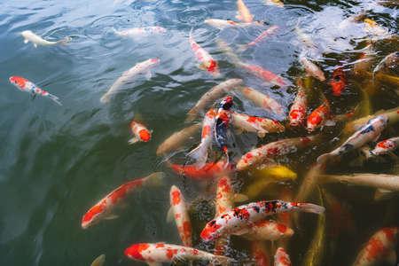 Colored carp of the Japanese garden 版權商用圖片