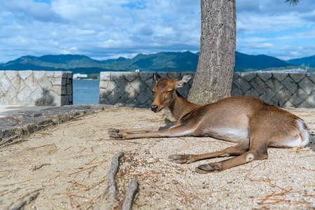 Deer relaxing at the seaside