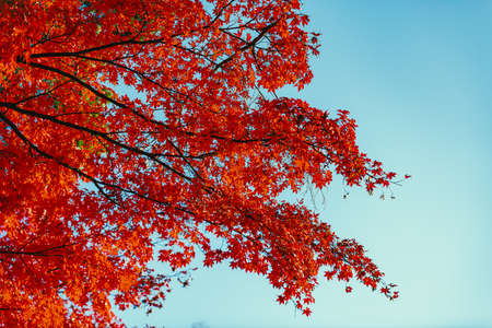 Beautiful autumn colour leaves in the garden