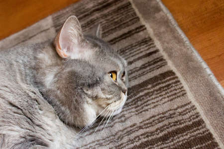 British gray cat lies on the floor
